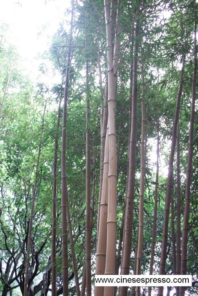Foresta di bambù cinesespresso